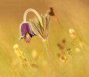 Pulsatilla on the field. stock photography