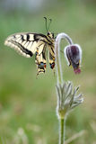 Pulsatilla flower with butterfly Stock Photo