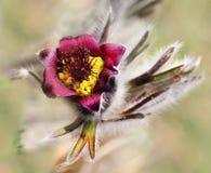 Pulsatilla, Pasque Flower Stock Image