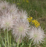 Pulsatilla flower seeds Stock Image