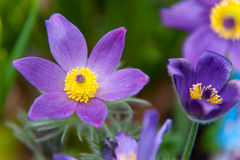 Pulsatilla Flower. Spring Pulsatilla flower close up Stock Image