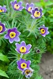 Pulsatilla flowers Stock Photo