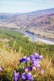 Pulsatilla flowers in Altay mountains landskape Stock Image