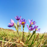 Pulsatilla flowers on blue sky background Royalty Free Stock Photography
