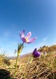 Pulsatilla flowers on blue sky background Stock Photography