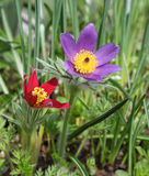 Pulsatilla flowers Stock Images