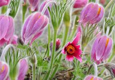 Pulsatilla flowers Royalty Free Stock Photography