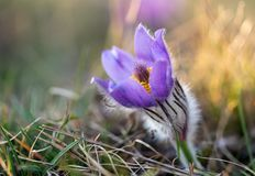 Pulsatilla grandis Blooming on spring meadow royalty free stock images