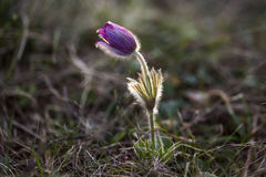 Pulsatilla grandis, or the greater pasque flower in backlight. Purple pasque flowers - one of the first signs of Spring Stock Photography