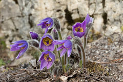 Pulsatilla grandis Stock Photography