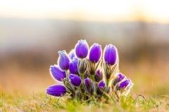 Pulsatilla grandis kwitną i kwitną na łące Piękny fiołek kwitnie w wiosna zmierzchu obrazy royalty free