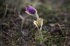 Pulsatilla grandis lub wielki pasque kwiat w backlight, Fotografia Stock
