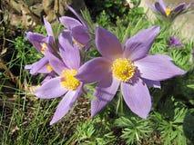 Pulsatilla grandis Pasque kwiaty w ogródzie obraz royalty free