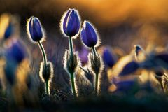 Pulsatilla grandis - Pasqueflower. In the sunset Stock Images