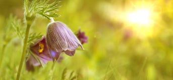 Pulsatilla kwitnie w złotych otoczeniach Fotografia Royalty Free