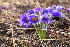Pulsatilla lub Syberyjska śnieżyczka Piękny purpurowy mały owłosiony sasanek Pulsatilla kwitnienie na wiosny łące Fotografia Stock