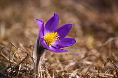 Pulsatilla montana Imagens de Stock Royalty Free