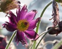 Pulsatilla (Montana chamber) flower blossom Royalty Free Stock Image
