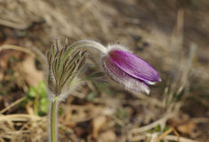 Pulsatilla montana Royalty Free Stock Photography