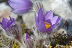 Pulsatilla montana de Pasqueflower da montanha Fotos de Stock Royalty Free
