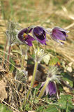 Pulsatilla montana Stock Photos