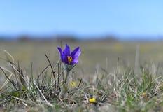 Pulsatilla montana. In Reci natural reservation Stock Photos