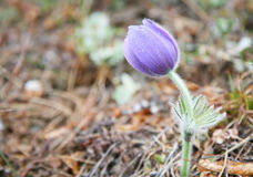 Pulsatilla Royalty Free Stock Photos