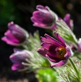 Pulsatilla, one flower close-up with several flowers in the background. Lilac, purple, pink, fleecy leaves and petals, spring day, natural view of nature Royalty Free Stock Photography