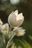 Pulsatilla - pasque λουλούδι Στοκ φωτογραφίες με δικαίωμα ελεύθερης χρήσης