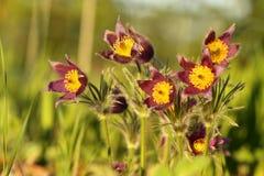Pulsatilla - pasque λουλούδι Στοκ Εικόνα