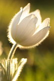 Pulsatilla - pasque λουλούδι Στοκ εικόνες με δικαίωμα ελεύθερης χρήσης