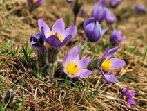 Pulsatilla - pasque flower Stock Photos