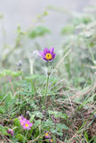 Pulsatilla Royalty Free Stock Photo