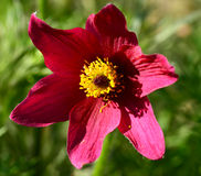 Pulsatilla (pasque flower) plant flowering Royalty Free Stock Image