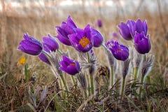 Pulsatilla, Pasque kwiat, wiosna kwiat, Pulsatilla vulgaris z kroplami woda obraz royalty free