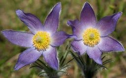 Pulsatilla patens (ανατολικό pasqueflower, καπνός λιβαδιών, κρόκος λιβαδιών, και cutleaf anemone) με τα λουλούδια Στοκ φωτογραφία με δικαίωμα ελεύθερης χρήσης