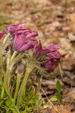 Pulsatilla patens. Bunch of blossoming beautiful purple Pulsatilla patens in the spring forest Royalty Free Stock Images