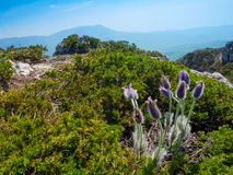 Pulsatilla patens in Crimea Stock Images
