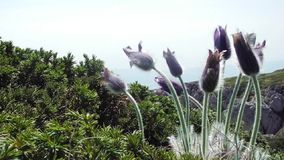 Pulsatilla patens in Crimea stock video