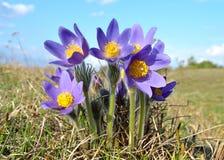 Pulsatilla Patens de las flores fotos de archivo
