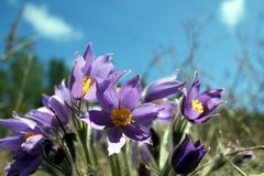 Pulsatilla patens Stock Photos