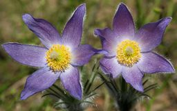 Pulsatilla patens (Eastern pasqueflower, prairie smoke, prairie crocus, and cutleaf anemone) with flowers Royalty Free Stock Photo