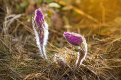 Pulsatilla patens. The first spring flowers pulsatilla patens in wood on an edge Stock Image