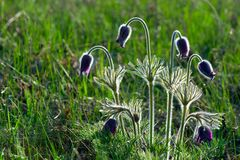 Pulsatilla patens L Stock Photo