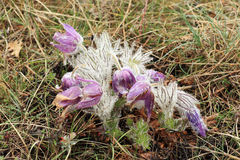 Pulsatilla patens in the mountains Stock Images