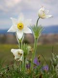 Pulsatilla patens ssp. alba - rare Stock Photography