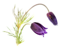 Pulsatilla Patens Royalty Free Stock Photography