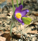 Pulsatilla patens. Yellow butterfly on a  snowdrop Stock Images