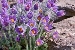 Pulsatilla,plant from the family of perennials. Pulsatilla is a plant from the family of perennials. Grows in North America, Europe and Asia. Valued as an Stock Image
