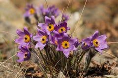 Pulsatilla plants flowering Stock Image